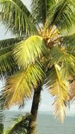 Tropical coconut palm