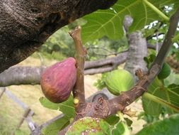 ficus carica on a branch