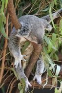 koala animal sitting on the tree