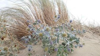Thistle on the beach in summer