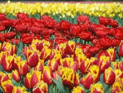 colorful tulips in a greenhouse