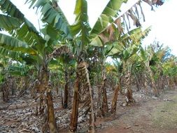 Banana Plantation in Africa