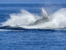 jumping humpback whale in the ocean