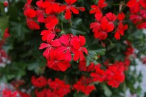 scarlet geraniums in the greenhouse