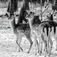 Deers in the wildlife
