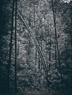 tall trees in dark forest, black and white