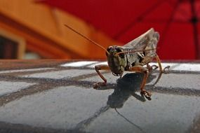 Grasshopper on a gray surface