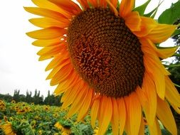 sunflower field flower plants