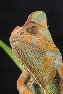 Close-up of the beautiful veiled chameleon