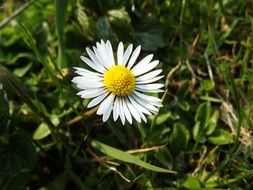 white daisy flower at green grass