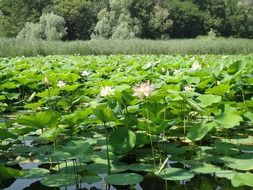 water lilies liy aquatic plants
