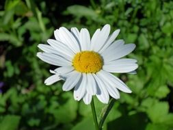 daisy with white petals