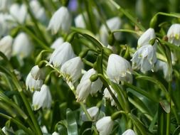 lowered buds of snowdrops
