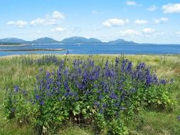 blue wildflowers in scenic summer landscape, usa, maine, acadia national park