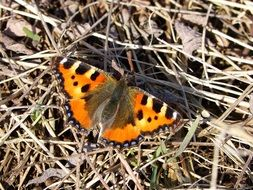 orange butterfly on dry grass
