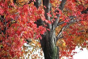 tree leaves maple autumn fall red
