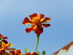 flower marigold on a background of blue sky