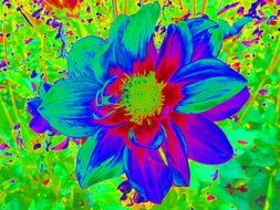 colorful picture of dahlia flower