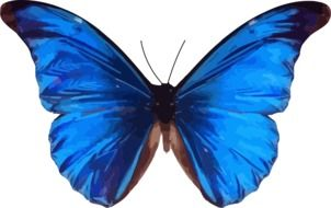 blue butterfly insect morpho nature