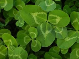 green clover leaves of various sizes