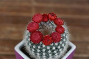 red blooms on cactus plant flourished spur
