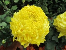 yellow chrysanthemum plant in the park