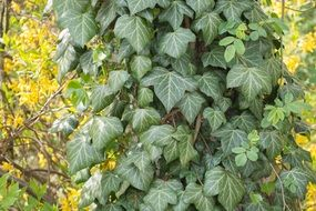 ivy green leaves baumstam climber