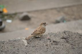 cute sparrow on asphalt