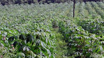 Cassava plantation in India