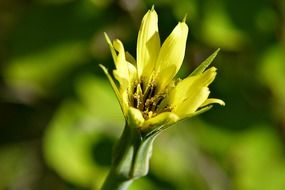 yellow meadow flower closeup