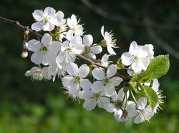 cherry flowers, spring nature