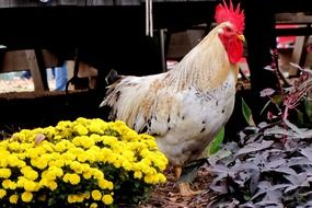 Rooster near yellow flowers