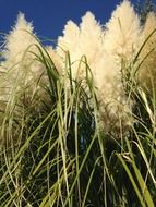 tall grass pampas