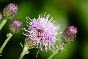 blooming wild thistle in spring