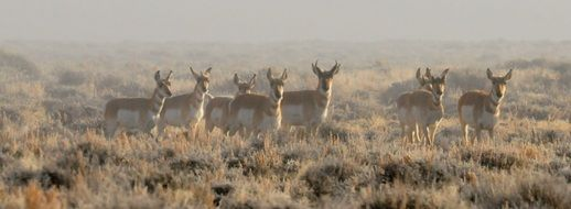 herd of pronghorns on the wild