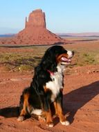 bernese mountain dog on a sandstone background in Valley in Utah