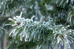 fir tree in hoarfrost