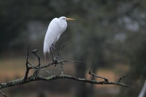 egret on a tree branch