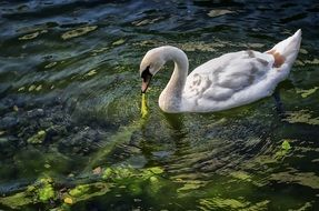 graceful white swan in pond