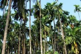 Arecanut plantation in India