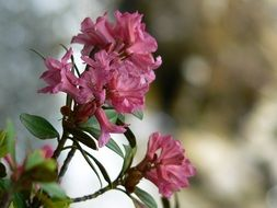 pink rhododendron flower bloom close