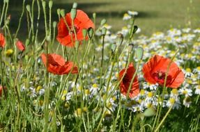 poppies on the wild meadow with daisies