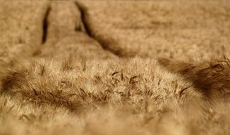 furrows in a wheat field