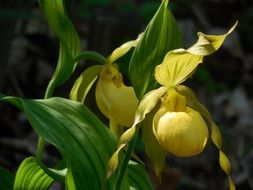irresistible lady s slipper orchid