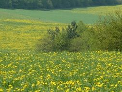 green spring meadow with yellow dandelion flowers