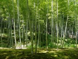 Bamboo in Kyoto,Japan