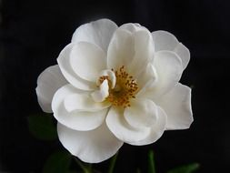 rose flower blossom bloom white