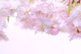 delicate pink flowers in spring