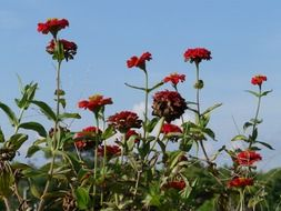 Picture of zinnia flowers