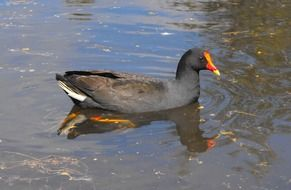 dusky moorhen on water, australia's native bird